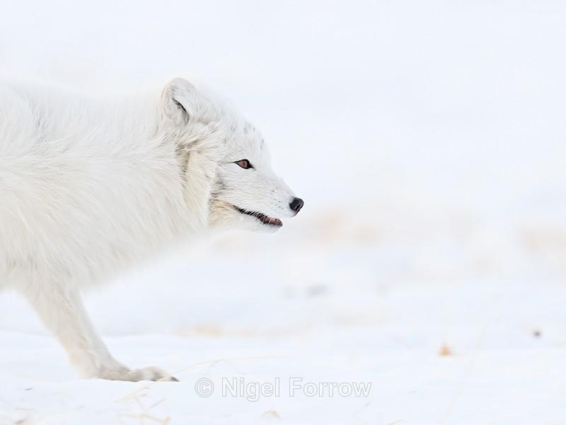 Profile of Arctic Fox, Svalbard, Norway - Arctic Fox