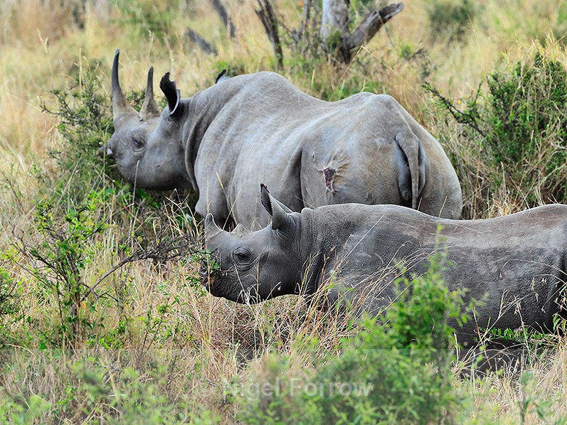 Black Rhinoceros - mother and calf grazing on some bushes in the Mara - Rhinoceros