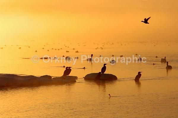 Birds orange - Orkney Images