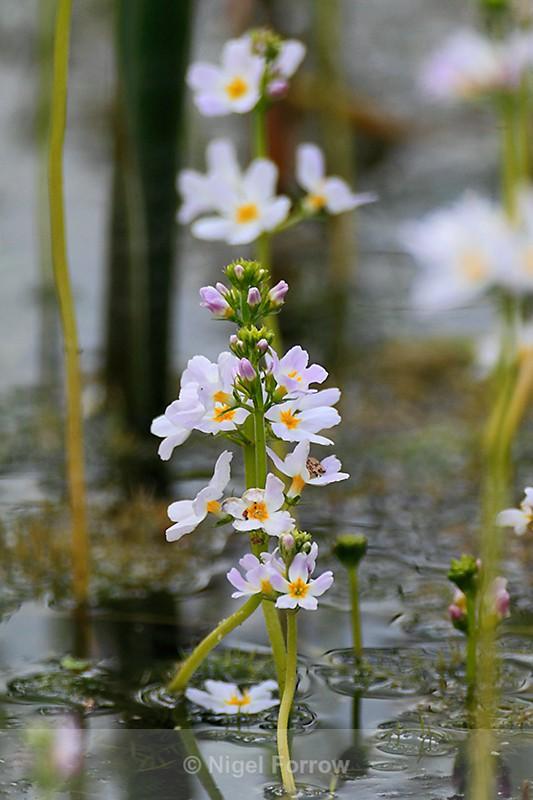 Water Violet, Otmoor - PLANTS