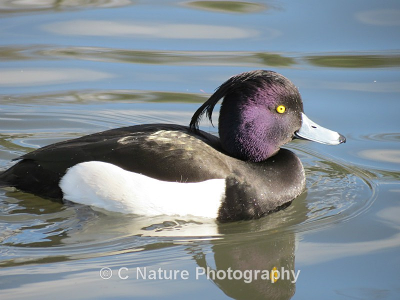 Tufted Duck - Birds