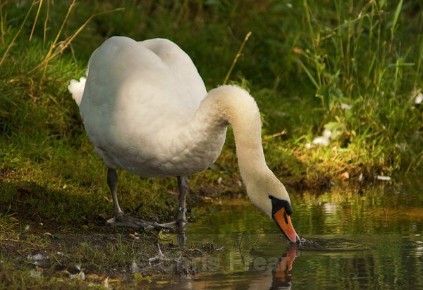 Frear-Swan - For T&C