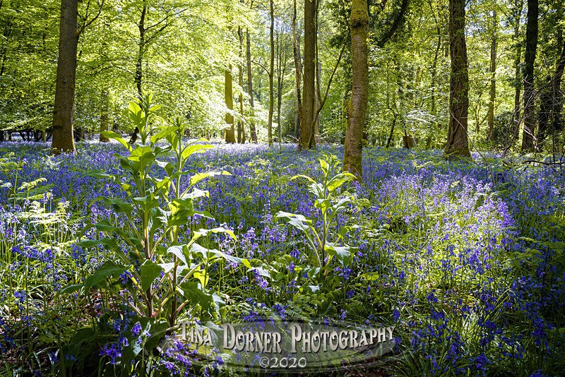 Bluebell Pools at Soudley - Spring & Summer in The Forest of Dean & Wye Valley and BLUEBELLS!