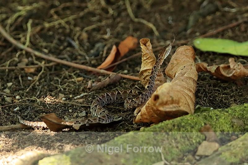 Fer-de-Lance (Bothrops asper), Costa Rica - REPTILES & AMPHIBIANS