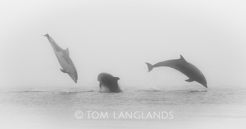 Bottlenose Dolphins - Dolphins