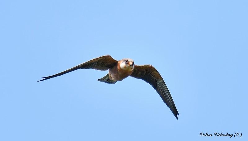 Red-footed Falcon - Birds Of Prey