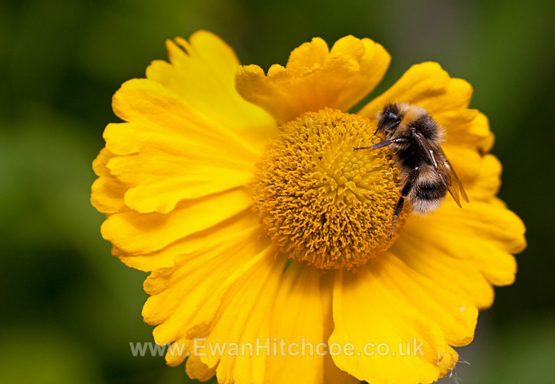Summer Bee - British Wildlife