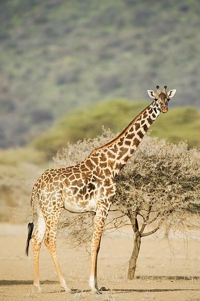 Masai Giraffe Shompole, Kenya