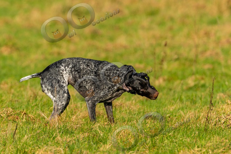 German Shorthaired pointer-4193 - Pet Photography