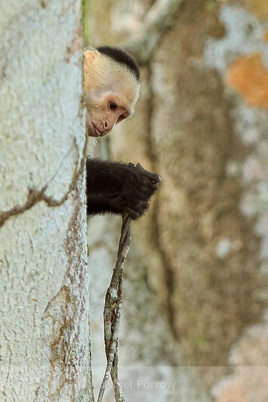 White-throated Capuchin examining vine, Costa Rica - Monkey