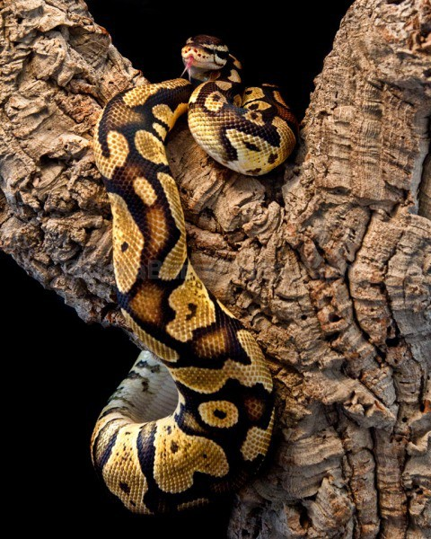 snakes-227 - Reptile Photography