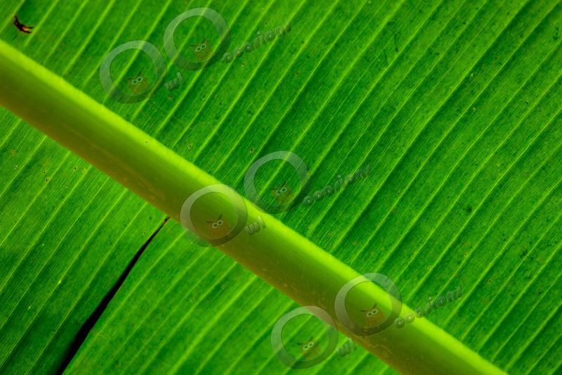 Banana-1020 - Plants and trees