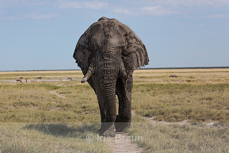 Straight forward - Elephant