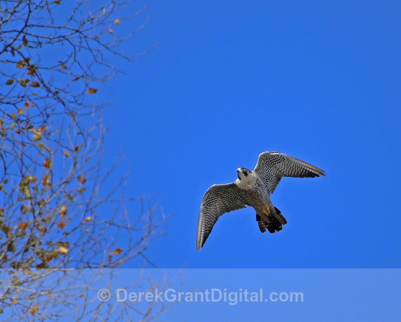 Peregrine Falcon - 2 - Birds of Atlantic Canada