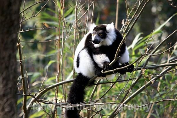 B & W Ruffed Lemur 1 - Around The World