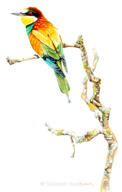 Bee Eater on a branch - Birds