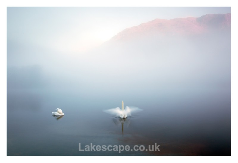 Swans in the Mist, Rydal Water - Rydal Water