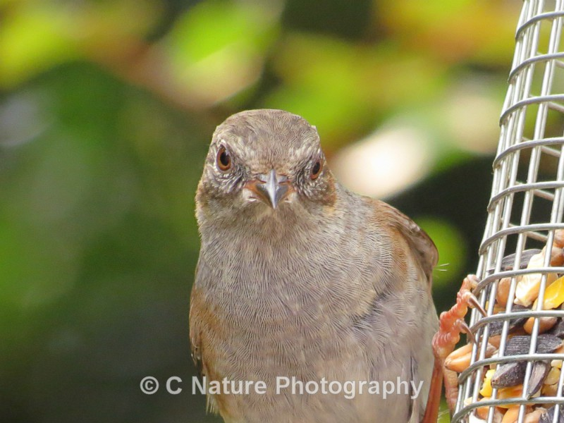 Dunnock - Birds