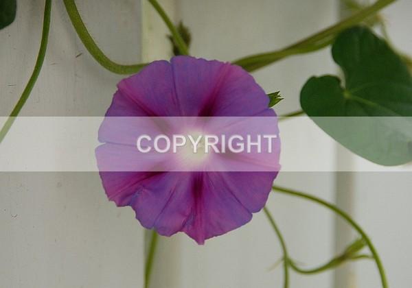 Fucia Morning Glory ADSC-0009 - The Flower Shop