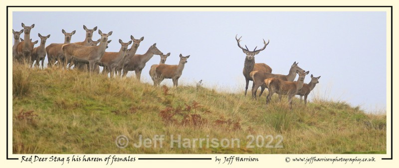 'Red Deer Stag and his harem of females ' - Image Red D 012 - Red Deer