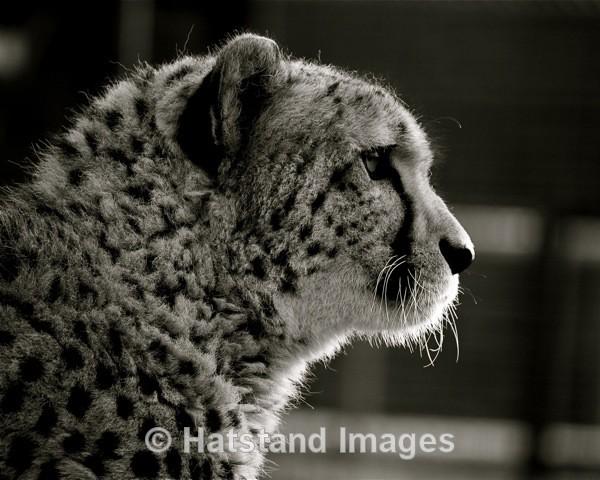 Cheetah - nature