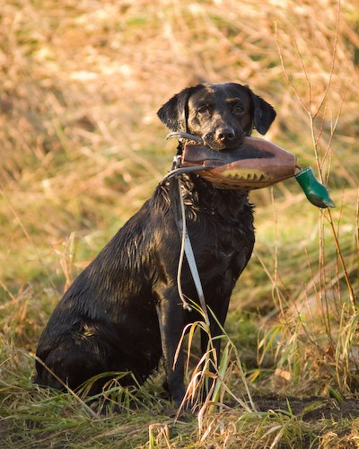 5 - Heney Gundogs