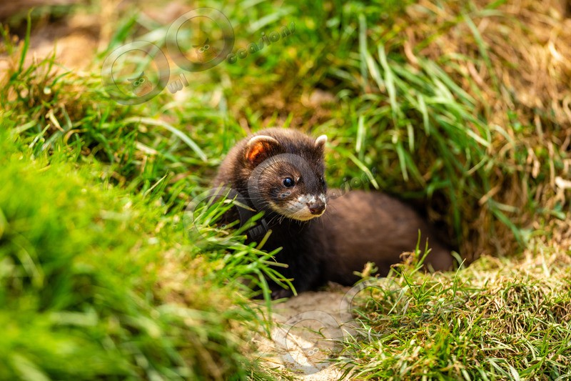 polecat Mustela putorius-8163 - UK Wildlife