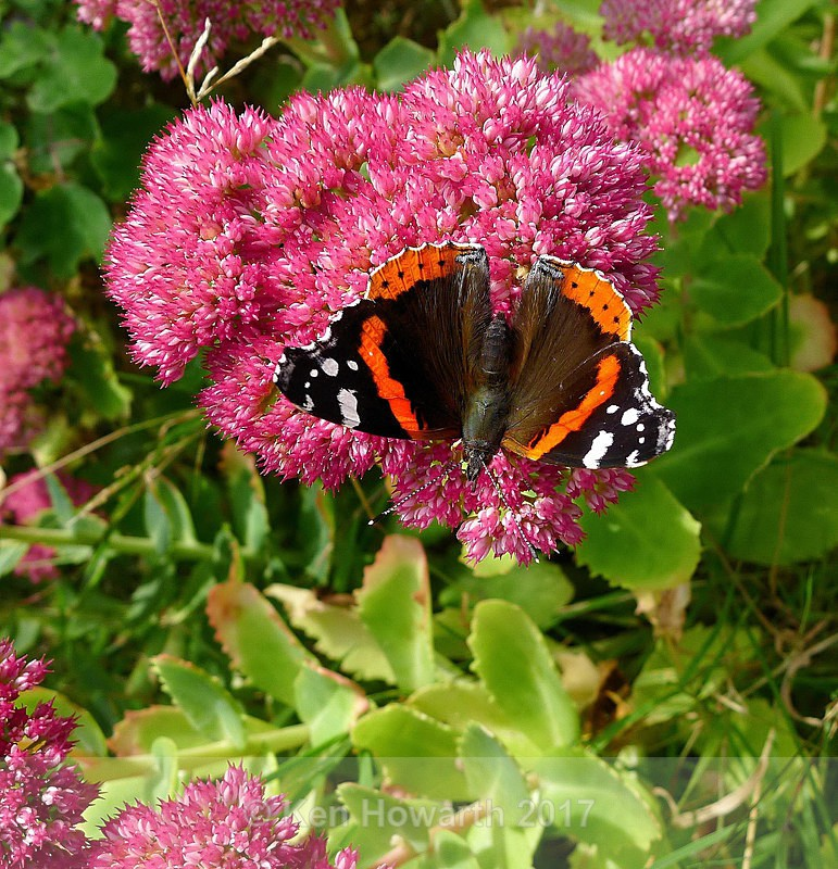 Red Admiral, Lake District - Natural World