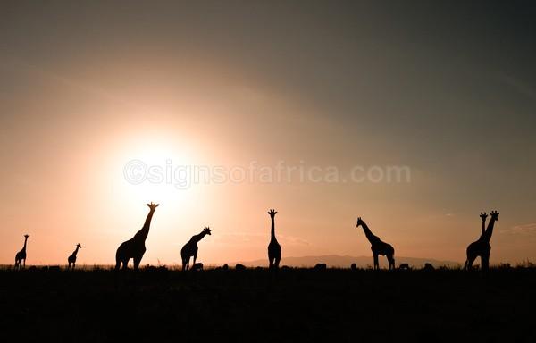 Giraffe Nairobi National Park, Kenya