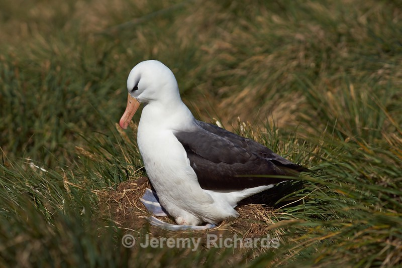 Black-browed Albatross - West Point Island