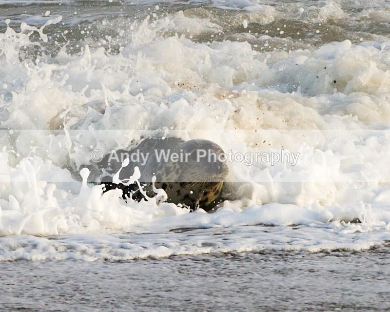 20101128-3767 - Grey Seal