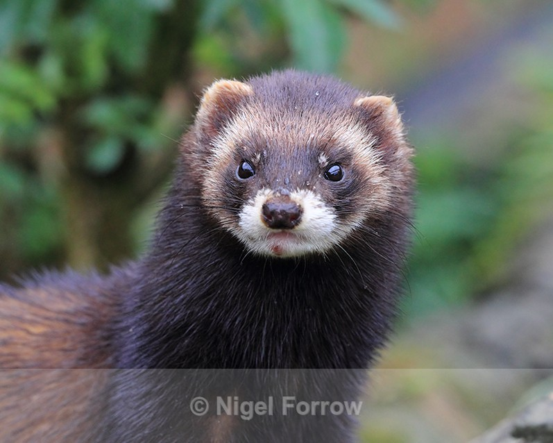 Close-up of European Polecat - Polecat