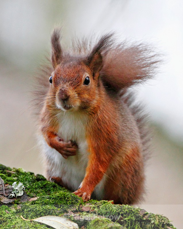 Red Squirrel sat on a moss-covered log on Brownsea Island - Squirrel