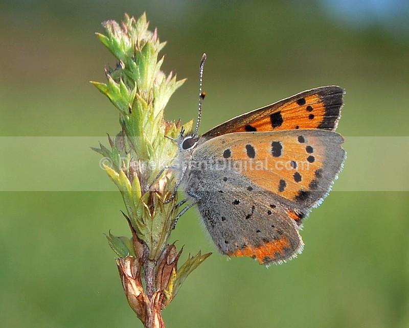 American Copper - Butterflies & Moths of Atlantic Canada