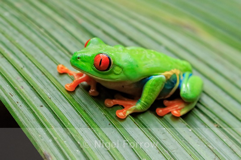 Red-eyed Tree Frog, Costa Rica - REPTILES & AMPHIBIANS