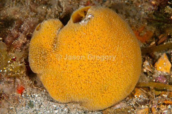 Suberites pagurorum - Sponges (Porifera)