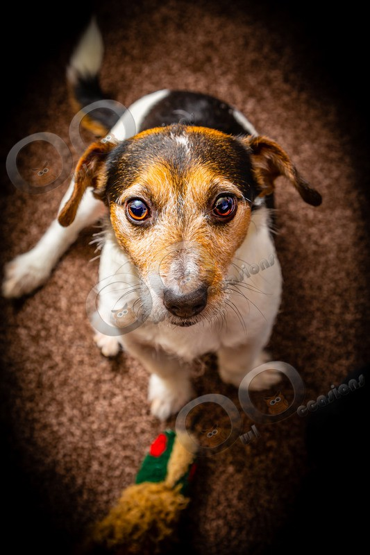 Jack Russell_5752 - Pet Photography