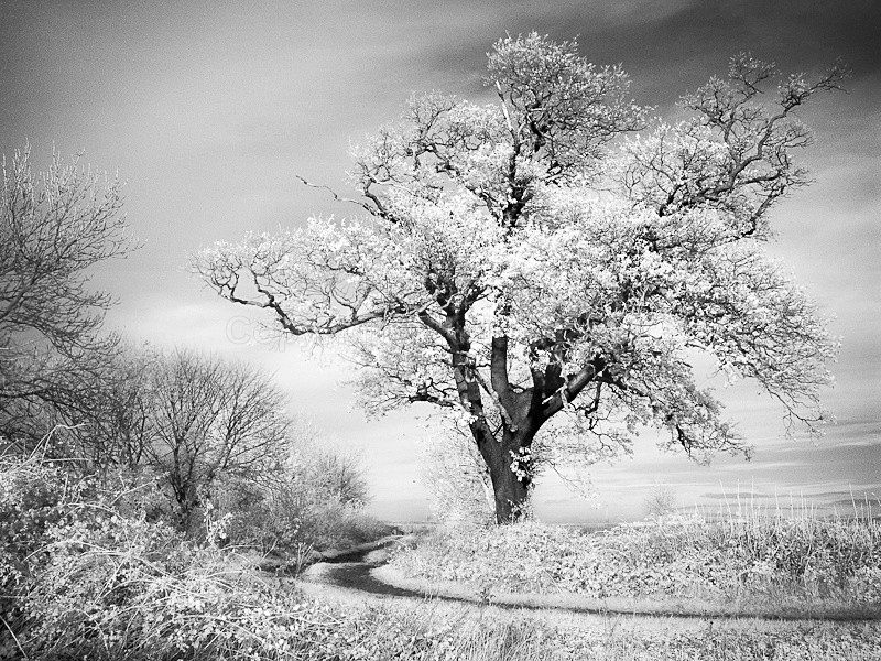 Field Oak in IR - Latest Work