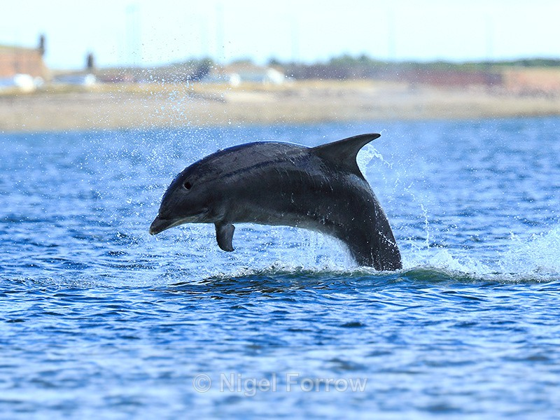 Bottlenose Dolphin breaching near Chanonry Point in the Moray Firth - Dolphin