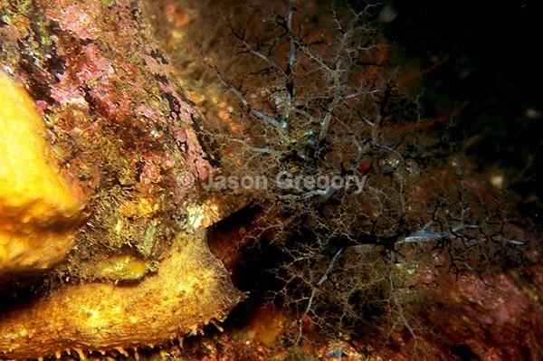 Aslia lefevrei - Sea Cucumbers (Echinodermata)