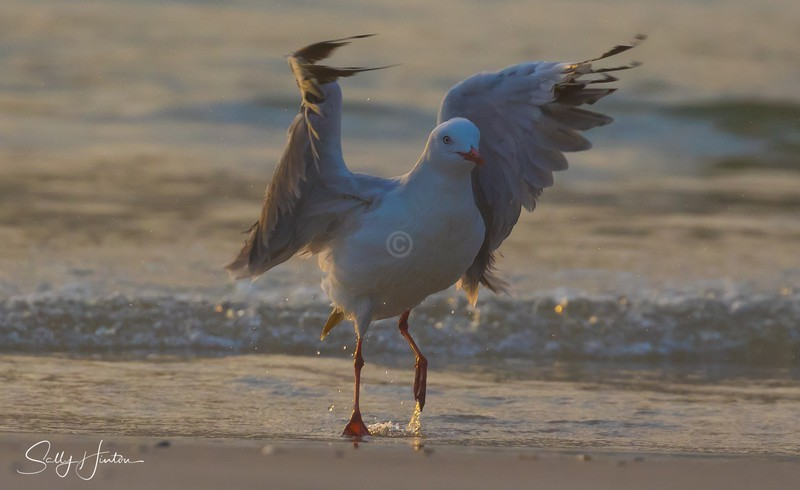Gull Sunrise Dance 4 - Silver Gulls 2018 (For Sale)
