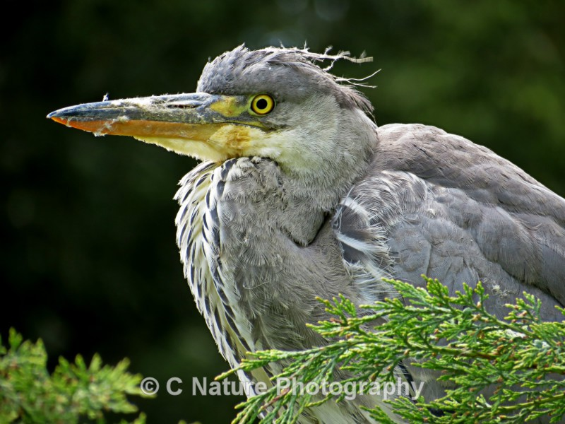 Grey Heron - Birds