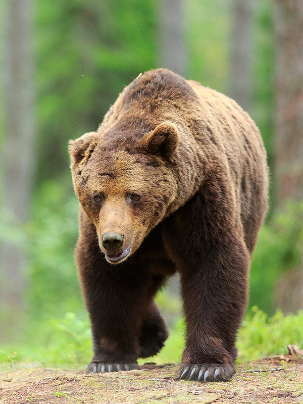 Brown Bear (male) in the forest at Martinselkonen - Brown Bear