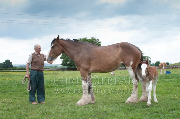 ryecroft - Clydesdales 2013 Include Foals