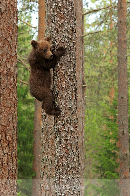 Brown Bear cub climbing a tree at Martinselkonen - Brown Bear