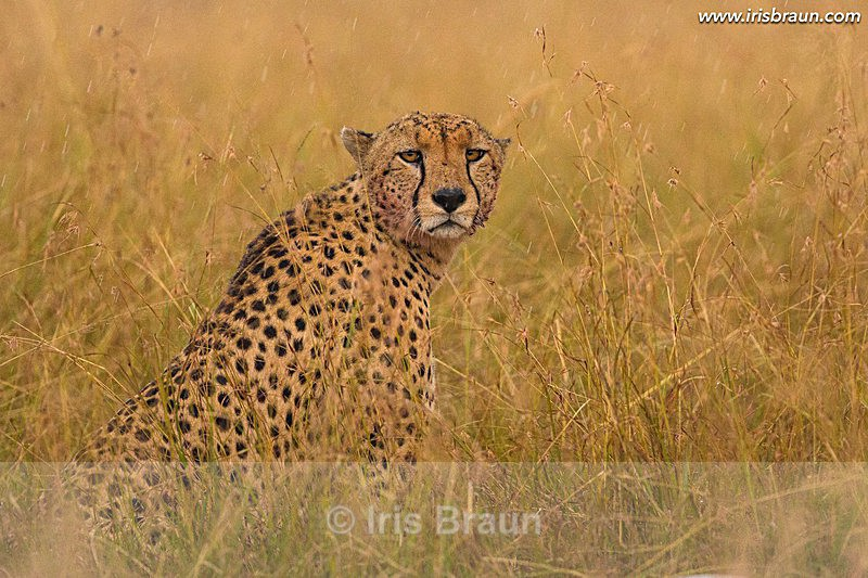 A rainy day - Cheetah