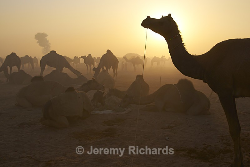 Camels at Dawn - India