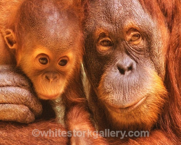Orangutans - Wildlife and Animals