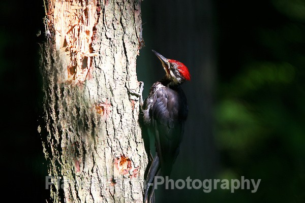Pilated Woodpecker 3 - Around The World