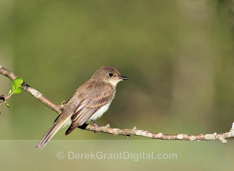Eastern Phoebe - Birds of Atlantic Canada